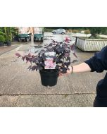 Loropetalum Ever Red 2 Litre Pot