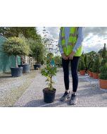 Acer palmatum Sangokaku 7.5 Litre Pot