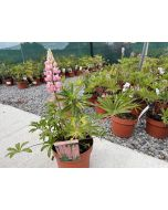 Lupin Gallery Rose 3 Litre