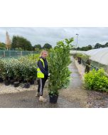 Laurel Hedging 15 Litre Pot 130-150cm