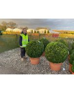 Buxus Or Box Ball 80-90 cm Diameter