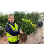 Box Hedging 25-30 cm Bare Root