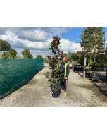 Magnolia Grandiflora 25 Litre Pot 150/175cm