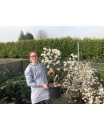 Magnolia Stellata Royal Star 12 Litre Pot