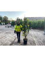Magnolia Susan 25 Litre Pot 150/160cm