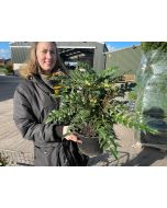 Mahonia Winter Sun 10 Litre Pot