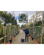 Photinia Red Robin Pleached Full Standard 200cm ST 120x120cm
