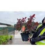 Cotinus Grace 10 Litre Pot