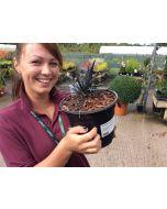 Ophiopogon Niger 3 Litre Pot