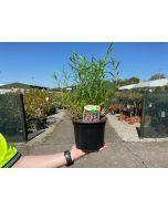 Penstemon Apple Blossom 2 Litre Pot