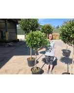 Photinia Red Robin Half Standard 25 Litre Pot