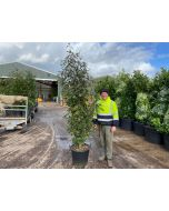 Photinia Red Robin 90 Litre Pot 230/240cm