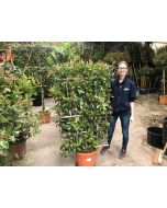 Photinia x Fraseri Red Robin Wall frame 30 Litre