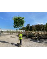 Carpinus B. Pleached 25 Litre 7/9 Girth Full Standard 120x120