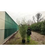 Phyllostachys Bissetii Green Bamboo 25 Litre Pot 250 cm