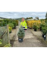Picea Pungens Fat Albert 25 Litre Pot 80/100