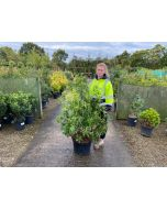 Pieris Forest Flame 25 Litre Pot