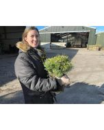 Pinus mugo Benjamin 4.5 Litre Pot