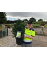Pinus heldreichii Malinki 15 Litre Pot