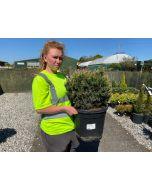 Pinus Mugo Mops 20 Litre Pot