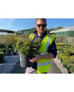 Pinus Mugo 7.5 Litre Pot