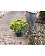 Pinus Sylvestris Watereri 3 Litre Pot