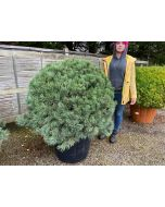 Pinus Sylvestris Watereri Specimen Sized Ball