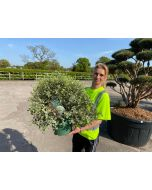 Pittosporum Ten. Silver Ball 7 Litre Pot