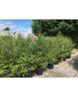 Pittosporum Tenuifolium 30 litre pot