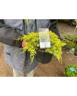 Juniperus Golden Carpet 2.5 Litre Pot