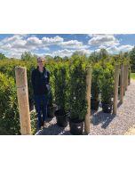Prunus lusitanica Angustifolia Root Ball 120/140cm Order For October