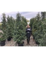 Portuguese Laurel  Myrtifolia 45 Litre Pot 220cm