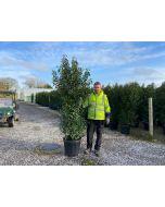 Prunus lusitanica Angustifolia Root Ball 200/225cm