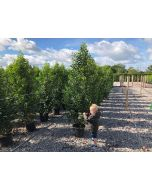 Portuguese Laurel 15 Litre Pot 140-160 cm