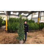 Portuguese Laurel Root Ball 150/175cm