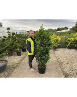 Prunus lusitanica - Portuguese Laurel  160cm