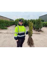 Golden Privet Bare Root 50-80cm Digging Now