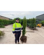 Green Privet Bare Root 80/100cm Digging Now