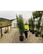 Green Privet Root Ball Hedging 150/175cm Pre Order