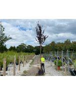 Prunus cer. Atropurpurea 10 Litre Pot