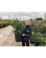 Prunus Otto Luyken Root Ball 50-60cm