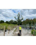 Prunus Avium 30 Litre Pot