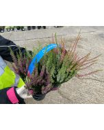 Calluna Beauty Lady Mix 9 cm Pot x 6 Plant Pack