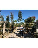 Quercus Ilex Full Standard 8-10 cm Girth