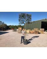 Quercus Ilex - Holm Oak Full Standard Pleached Frame 150x100 cm