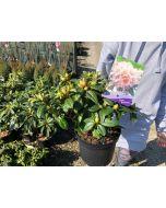 Rhododendron Carolina Dora Amateis 2 Litre Pot