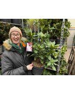 Rhododendron H. Chevalier Felix de Sauvage 5 Litre Pot