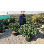 Rhododendron Hybrid Eucharitis 25 Litre Pot