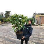 Rhododendron H. Chevalier Felix de Sauvage 10 Litre Pot