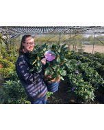 Rhododendron Hybrid Eucharitis 7.5 Litre Pot
